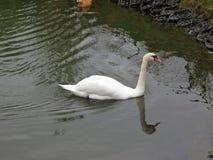 Rusia central, cisne blanco y nadada roja del pato en la charca imagen de archivo