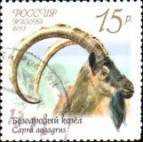 RUSIA - CIRCA 2013: El sello impreso en Rusia muestra el aegagrus del Capra de la cabra bezoar, serie de la fauna de Rusia Imagen de archivo