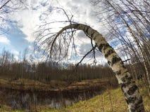 Rusia El abedul doblado sobre el lago Fotografía de archivo