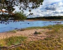 Rusia. El pino ramifica sobre la costa arenosa del golfo de Finlandia Imagen de archivo