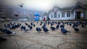 22-10-2013, Rusia, Extremo Oriente, Spassk Dalnij - palomas grises hambrientas en el cuadrado cerca de la tienda y en su tejado Imagenes de archivo