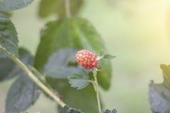 Rusia, frambuesa roja o idaeus del rubus en árbol con luz del sol imágenes de archivo libres de regalías