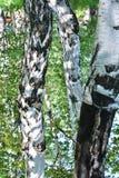 Rusia, Siberia, abedul 3 Imágenes de archivo libres de regalías