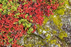 Ruska time in Lapland. Bearberry in autumn. Fall colors - ruska time in Lapland. Finland, Nordic countries in Europe Stock Photos
