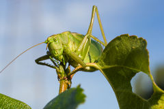 Ruskig gräshoppa Royaltyfria Foton