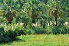 Rusland. De Kaukasus. Sotchi. Park Dendrariy. De steeg van de palm stock fotografie