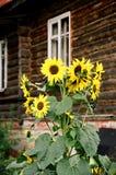 Rusland. de zonnebloemen. Stock Fotografie