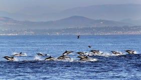 Rusning för gemensam delfin nära San Diego Fotografering för Bildbyråer