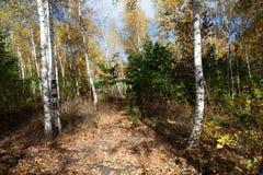 Ruso, bosque del abedul Imagenes de archivo