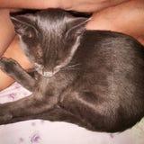 Russe bleu, mon beau chat photos stock