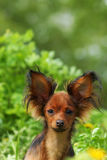 Russe décoratif de chien Photos libres de droits