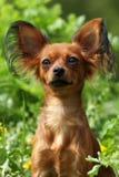 Russe décoratif Toy Terrier de chien Photographie stock libre de droits