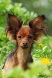 Russe décoratif Toy Terrier de chien Photos stock