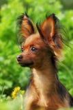 Russe décoratif Toy Terrier de chien Image stock