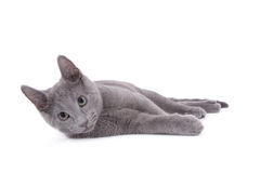 Russe de chat bleu Image stock