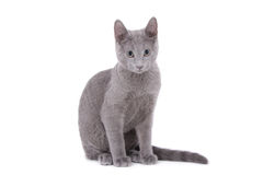 Russe de chat bleu Photos stock