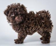 Russe farbiger Schoßhund Stockfoto