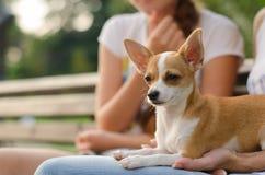 Russe Toy Terrier dans la couleur orange pâle de parc Image stock