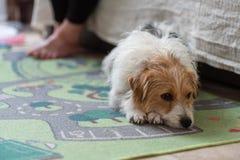 Russel för stålar för dagsikt som ledsen hund inomhus lägger på matta royaltyfria bilder