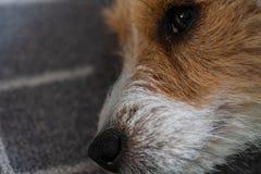 Russel för stålar för dagsikt som ledsen hund inomhus lägger på matta royaltyfri foto