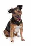 russel för svart stålar solbränd terrier royaltyfria bilder
