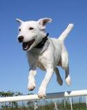 Russel-Terrier der springenden Steckfassung Lizenzfreie Stockfotos
