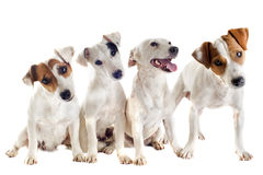 Russel-Terrier mit vier Steckfassungen stockbilder