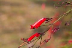 Russelia equisetiformis、爆竹植物、珊瑚植物、珊瑚喷泉, Coralblow或喷泉植物 免版税库存照片