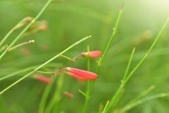 Russelia equisetiformis or firecracker plant flower in garden. Stock Photo