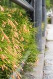 Russelia equisetiformis flower Royalty Free Stock Image