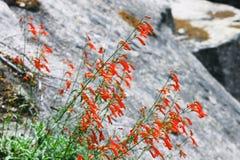 Russelia Equisetiformis in Yosemite Stock Photography