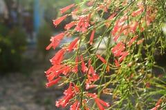 Russelia röd firecrackerblomma i solljus fotografering för bildbyråer