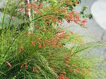 Russeliaequisetiformis of Fountainbush of het de Voetzoekerinstallatie of Koraal planten of Koraalfontein of Coralblow of Fontein stock afbeelding