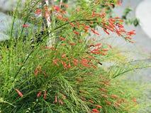 Russeliaequisetiformis of Fountainbush of het de Voetzoekerinstallatie of Koraal planten of Koraalfontein of Coralblow of Fontein royalty-vrije stock foto