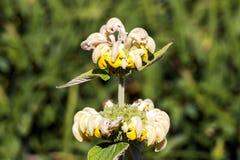 Russeliana de Phlomis Fotos de Stock Royalty Free
