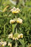 Russeliana Phlomis Стоковое Изображение RF