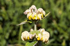 Russeliana Phlomis Стоковые Фотографии RF