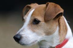russell för bestruken stålarparsonstående slät terrier Royaltyfria Foton