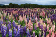 Russell Lupin-bloemen Royalty-vrije Stock Afbeelding