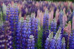 Russell Lupin-bloemen royalty-vrije stock fotografie