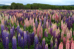 Russell Lupin-bloemen Stock Fotografie