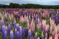 Russell Lupin-bloemen Royalty-vrije Stock Foto