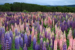 Russell Lupin flowers Royalty Free Stock Photography
