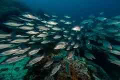 Russell`s snapper Lutjanus russellii fish Stock Images