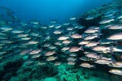 Russell`s snapper Lutjanus russellii fish Stock Image