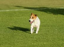 Russell Terrier Stock Photo