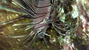 Russelli del Pterois del lionfish di Cleartail nel corallo del Mar Rosso Sudan stock footage