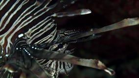Russelli del Pterois del lionfish di Cleartail nel corallo del Mar Rosso Sudan video d archivio