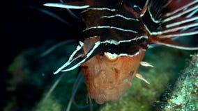 Russelli del Pterois del lionfish di Cleartail nel corallo del Mar Rosso Sudan archivi video