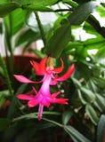 Russelliana schlumbergera εγκαταστάσεων λουλουδιών Ρόδινο λουλούδι που ανθίζει το Δεκέμβριο στοκ φωτογραφίες με δικαίωμα ελεύθερης χρήσης